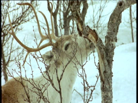 Reindeer eats bark from tree, Scandinavia