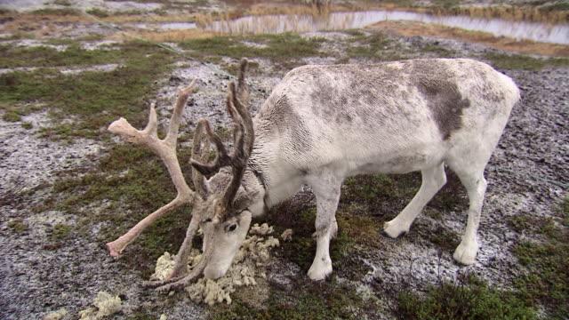 a reindeer eats moss in a field near tromso.  - 地衣類点の映像素材/bロール