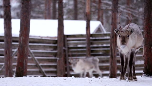 reindeer grazing - finland stock videos & royalty-free footage