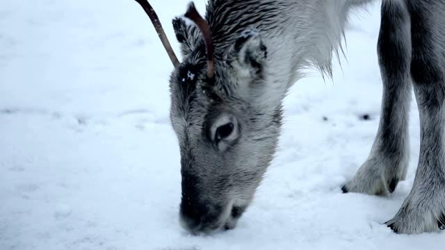 reindeer grazing - vaja bildbanksvideor och videomaterial från bakom kulisserna