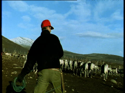 reindeer herder tries to lasso reindeer, scandinavia - herding stock videos & royalty-free footage