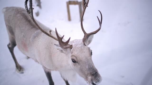 ws renar i norge - vaja bildbanksvideor och videomaterial från bakom kulisserna