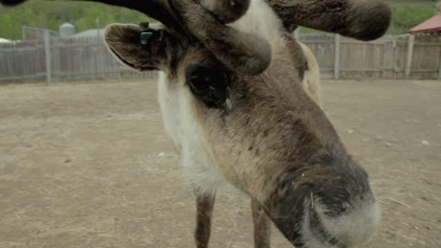 reindeer in pen - antler stock videos & royalty-free footage
