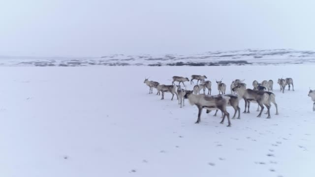 ms reindeer in remote snow covered landscape,iceland - herd stock videos & royalty-free footage