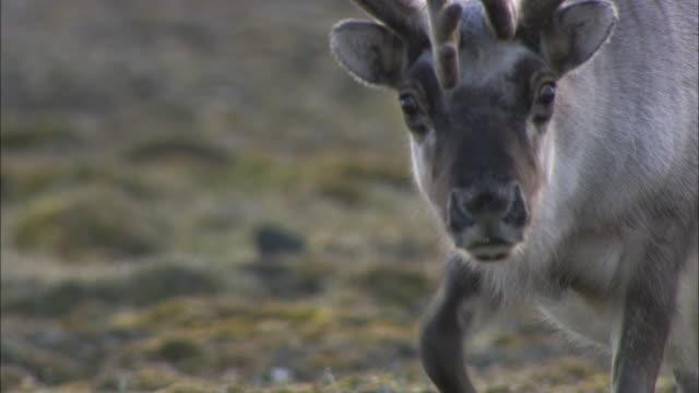 reindeer on tundra, svalbard, arctic norway - vaja bildbanksvideor och videomaterial från bakom kulisserna