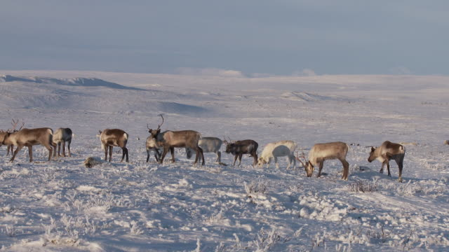 vidéos et rushes de reindeer (rangifer tarandus) scrape and dig in snow searching for food, snow and ice cover the ground, northern norway - caribou