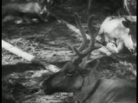 reindeer sitting on ground russian turkic people in camp w/ reindeer small child w/ hanging fish smoking cigarette - newsreel stock videos & royalty-free footage