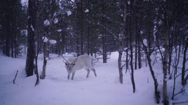 vidéos et rushes de renne sous la chute de neige - fédération de russie