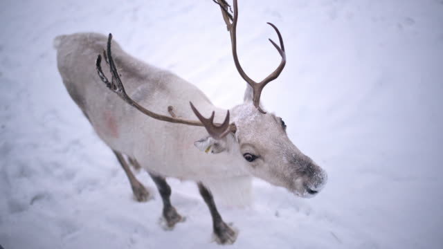 ws reindeer - horned stock videos & royalty-free footage