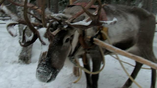 reindeer - vaja bildbanksvideor och videomaterial från bakom kulisserna
