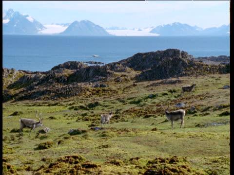 reindeer walk across coastal cliff top, svalbard - svalbard and jan mayen stock videos & royalty-free footage