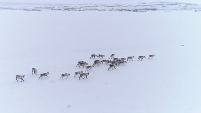 ms reindeer walking in snow covered field,iceland - iceland stock videos & royalty-free footage