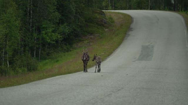 vídeos de stock e filmes b-roll de reindeer walking on road in finnish lapland - veado