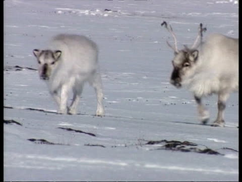 ms 2 reindeer walking through snow, 1 with antlers in velvet, arctic circle - 抜け殻点の映像素材/bロール