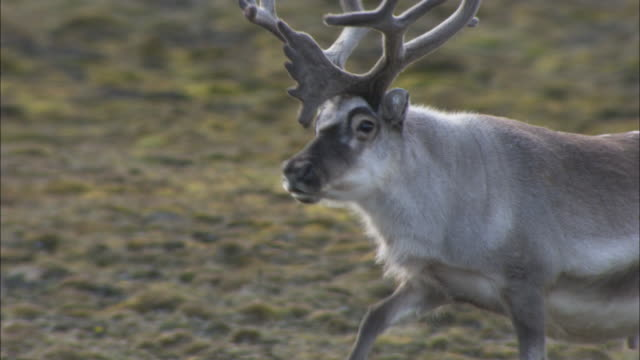 reindeer walks on tundra, svalbard, arctic norway - migrating stock videos & royalty-free footage