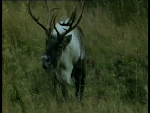 vidéos et rushes de reindeer walks towards sniffing the air looking for females, scandinavia - caribou