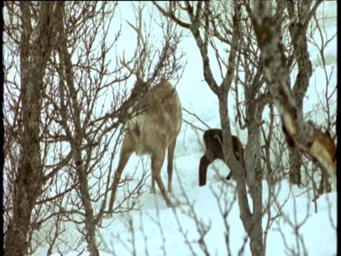 reindeer with missing antler walks through snow followed by baby, scandinavia - antler stock videos & royalty-free footage