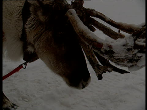 Reindeer with snow covered antlers chewing food Lapland