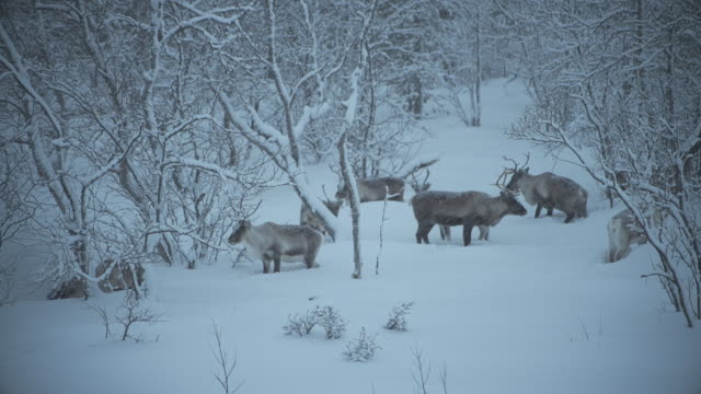 reindeers at abisko national park - river stock videos & royalty-free footage