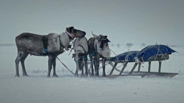 reindeers chained to a sled at the snow field in yamal peninsula / siberia, russia - arbeitstier stock-videos und b-roll-filmmaterial