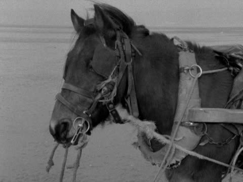 a reined horse stands on penclawdd beach 1959 - briglia video stock e b–roll