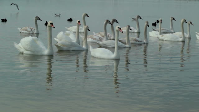 relax time for swans - cigno video stock e b–roll