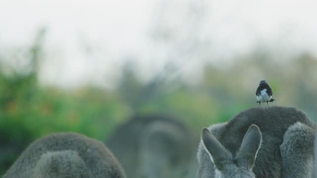relaxed bird standing on kangaroo's back - tier rücken stock-videos und b-roll-filmmaterial
