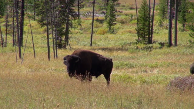 relaxed bison swaying it's tail on a windy day - swaying stock videos & royalty-free footage