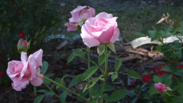 Rilassanti Video di rose Color rosa