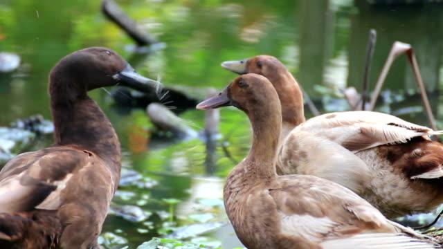 stockvideo's en b-roll-footage met relaxing scenery of ducks - eend watervogel