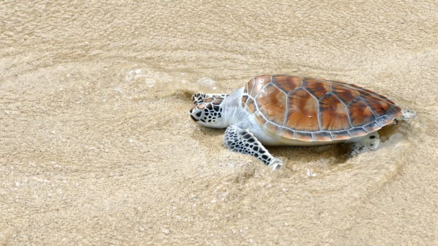 Release the hawksbill sea turtle back to the sea