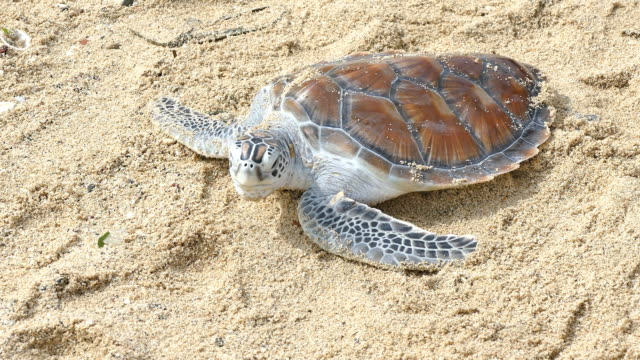 release turtles to the Andaman sea