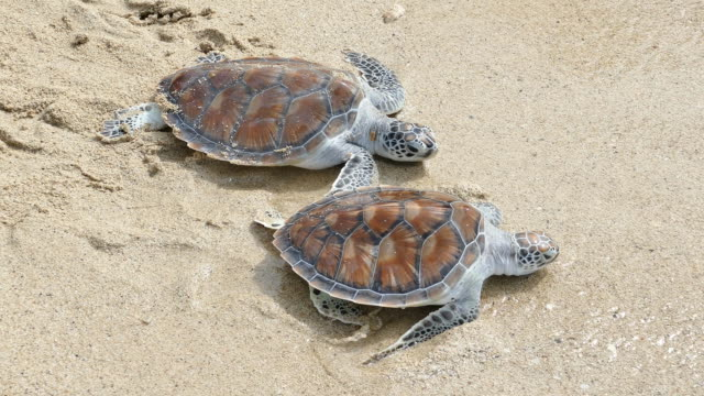 Release two hawksbill sea turtle back to the sea
