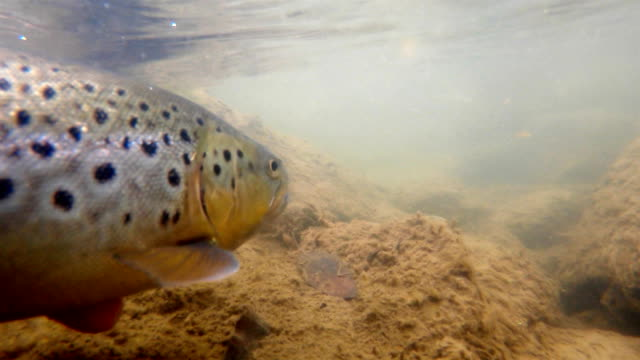 releasing a trout fish underwater - releasing stock videos & royalty-free footage