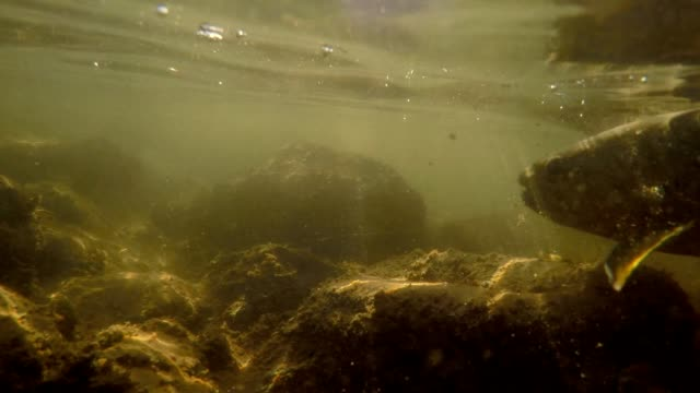 releasing a trout fish underwater - trout stock videos and b-roll footage