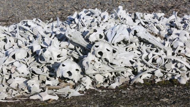 vídeos y material grabado en eventos de stock de remains of beluga whales (delphinapterus leucas) at bourbonhamna (77° 33'n 15° 00'e) in van mijenfjorden, spitzebergen; svalbard. - cetáceo