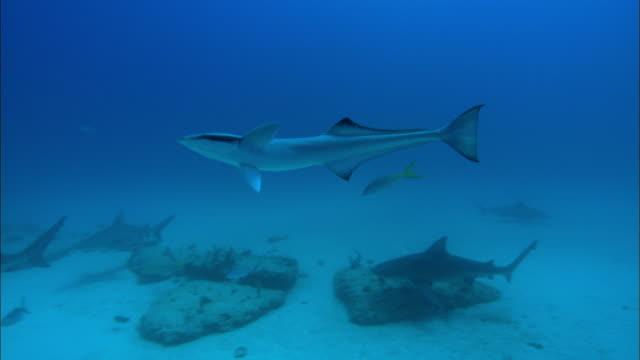 remora, echeneidae, free swimming, bahamas  - sugfisk bildbanksvideor och videomaterial från bakom kulisserna