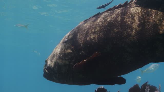 remora fish and goliath grouper - symbiotic relationship stock videos & royalty-free footage