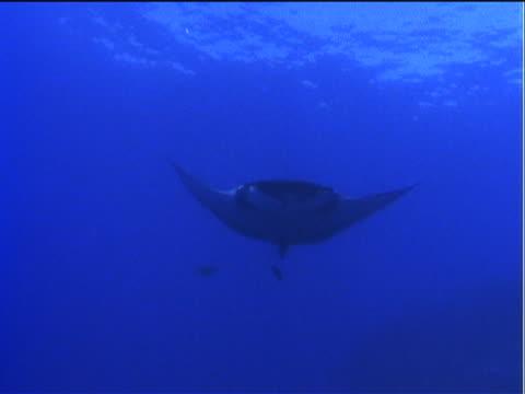 vídeos y material grabado en eventos de stock de a remora swims beneath a manta ray. - simbiosis
