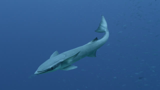 remora (echeneis naucrates) swims in blue ocean, fiji - remora fish stock videos & royalty-free footage