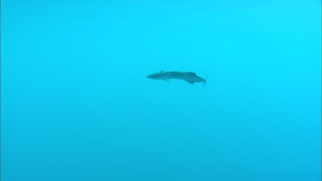Remora, underwater swims, Fiji, South Pacific