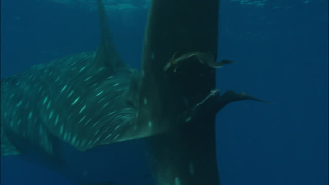 remoras (echeneidae) cling on to whale shark (rhincodon typus) tail fin, ascension island - walhai stock-videos und b-roll-filmmaterial