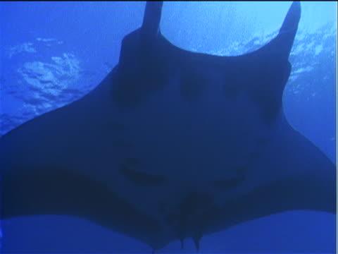 vídeos y material grabado en eventos de stock de remoras cling to a manta ray as it glides beneath the surface of the ocean. - simbiosis