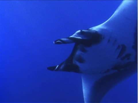 vídeos y material grabado en eventos de stock de remoras cling to a manta ray as it glides underwater. - simbiosis