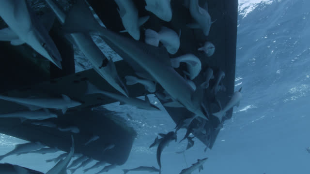 remoras (echeneis naucrates) cling to boat hull, fiji - remora fish stock videos & royalty-free footage