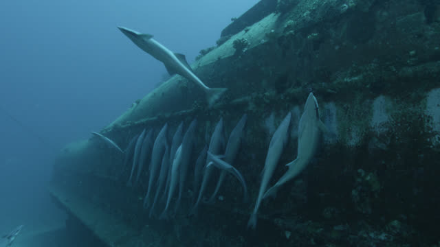 remoras (echeneis naucrates) cling to ship wreck, fiji - wrack stock-videos und b-roll-filmmaterial