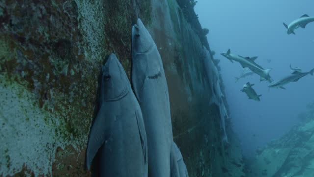 remoras (echeneis naucrates) cling to ship wreck, fiji - remora fish stock videos & royalty-free footage