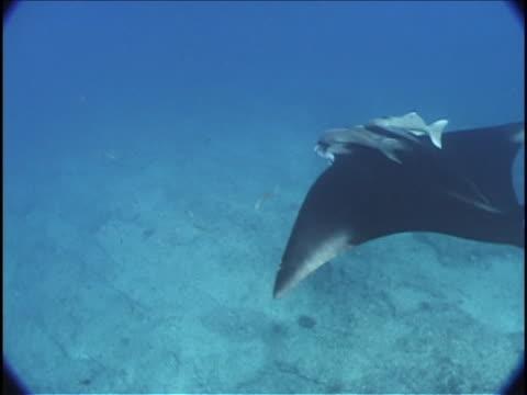 remoras cling to the top of a manta ray that glides near the floor of the caribbean sea. - sugfisk bildbanksvideor och videomaterial från bakom kulisserna