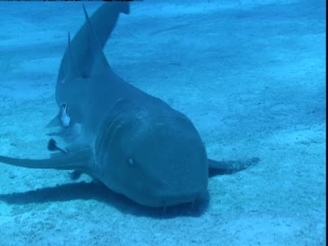 remoras follow a nurse shark as it glides along a sandy seabed in search of prey. - symbiotiskt förhållande bildbanksvideor och videomaterial från bakom kulisserna