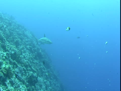remoras follow a shark as it swims slowly past dozens of other fish along a coral reef. - hemitaurichthys polylepis stock videos and b-roll footage